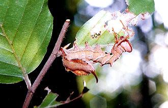 Lobster moth - Caterpillar