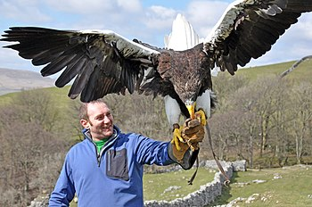 A falconer holding a Steller's Sea Eagle in th...
