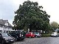 Stieleiche (ND 611) Quercus robur.jpg