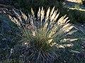 Stipa tenacissima (48099263832).jpg