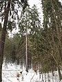 Stoleté smrky hornopožárského lesa (005).JPG