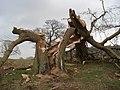 Storm damage in Eastnor Park - geograph.org.uk - 450365.jpg