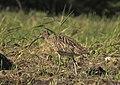 Storspov Eurasian Curlew (20341823202).jpg