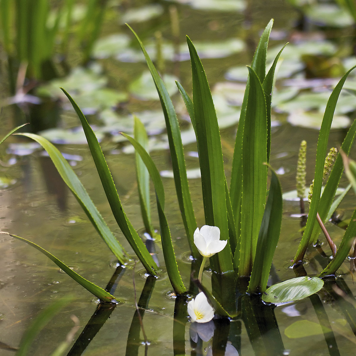 Stratiotes aloides wikipedia for Pond plants names