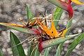 Strelitzia reginae var. Juncea 1zz.jpg