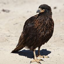 Striated Caracara on Saunders Island (5551648335).jpg