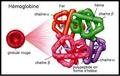 Structure hémoglobine-fr.png