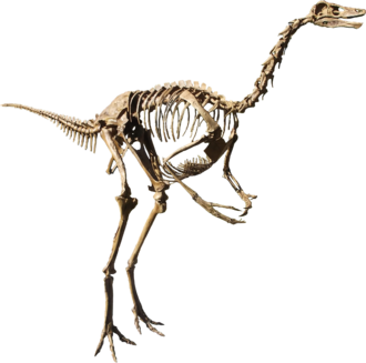 Struthiomimus - Cast of an S. altus skeleton, Rocky Mountain Dinosaur Resource Center