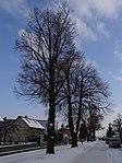 Suchdol - stromořadí lip srdčitých v Gagarinově ulici na Budovci (5).jpg