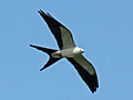 Swallow-tailed Kite RWD.jpg