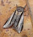 Swallow Prominent. Pheosia tremula. Notodontidae (6931010937).jpg