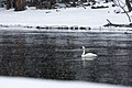 Swan on the Madison River (11951182235).jpg