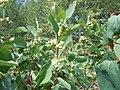 Symphoricarpos albus (5062664930).jpg