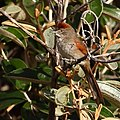 Synallaxis albescens-Pale-breasted Spinetail.jpg