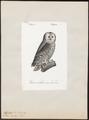 Syrnium uralense - 1842-1848 - Print - Iconographia Zoologica - Special Collections University of Amsterdam - UBA01 IZ18400165.tif