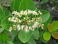 Syzygium caryophyllatum - South Indian Plum at Mayyil (5).jpg