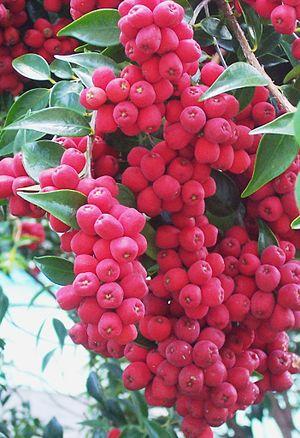 Syzygium luehmannii - Image: Syzygium luehmannii fruit