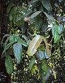 Syzygium mundagam.jpg