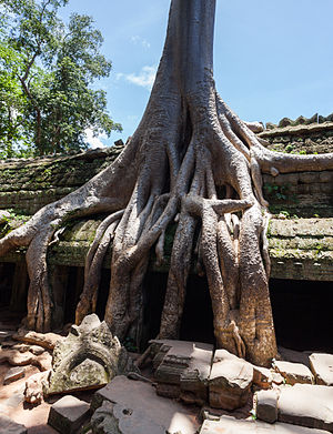 Ta Prohm - Roots of a spung running along the gallery of the second enclosure.