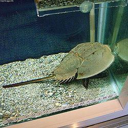 http://upload.wikimedia.org/wikipedia/commons/thumb/8/82/Tachypleus_tridentatus.jpg/250px-Tachypleus_tridentatus.jpg