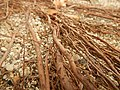 Tapis de racines de platane sous trottoir Platanus root mat under sidewalk Lille northern France 19.jpg