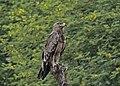 Tawny Eagle (37384385386).jpg