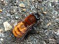 Tawny Mining Bee (f) - Andrena fulva 4.jpg