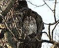 Tawny Owl Ipswich.jpg