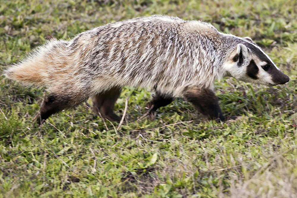 The average litter size of a American badger is 2