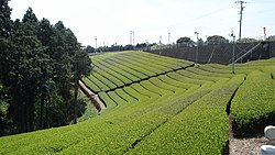 Tea plantations in Makinohara