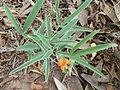 Tephrosia elongata, habitus, Voortrekkermonument-NR.jpg