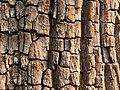 Terminalia tomentosa bark pattern.jpg
