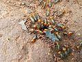 Termites 2.jpg