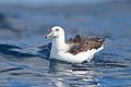 Thalassarche melanophrys subadult plumage - SE Tasmania.jpg
