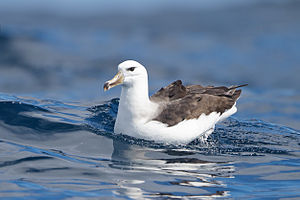 Black-browed albatross - Sub-adult plumage