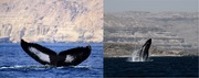 The-Worlds-Most-Isolated-and-Distinct-Whale-Population-Humpback-Whales-of-the-Arabian-Sea-pone.0114162.s001