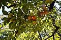 The Bird And The Fruit (28416425).jpeg