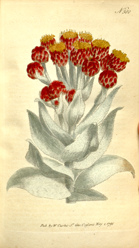 The Botanical Magazine, Plate 300 (Volume 9, 1795).png