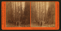 The Three Graces seen through the Bryant & Seward, Mammoth Grove, Calaveras Co., Cal, by Watkins, Carleton E., 1829-1916.png