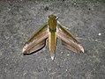 Theretra nessus nessus (Philippines, Luzon, Nueva Ecija, Dalton Pass) (Desmond Allen) male.jpg