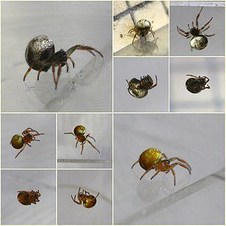 <i>Theridiosoma</i> Genus of spiders