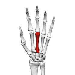Third metacarpal bone (left hand) 01 palmar view.png