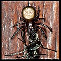 Thomisidae (5683497309).jpg