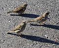 Three House sparrows in Norway.jpg