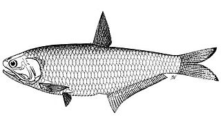 Freshwater anchovy species of fish