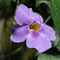 Thunbergia laurifolia-IMG 6324.jpg