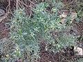 Thymelaea tartonraira (L) All..jpg