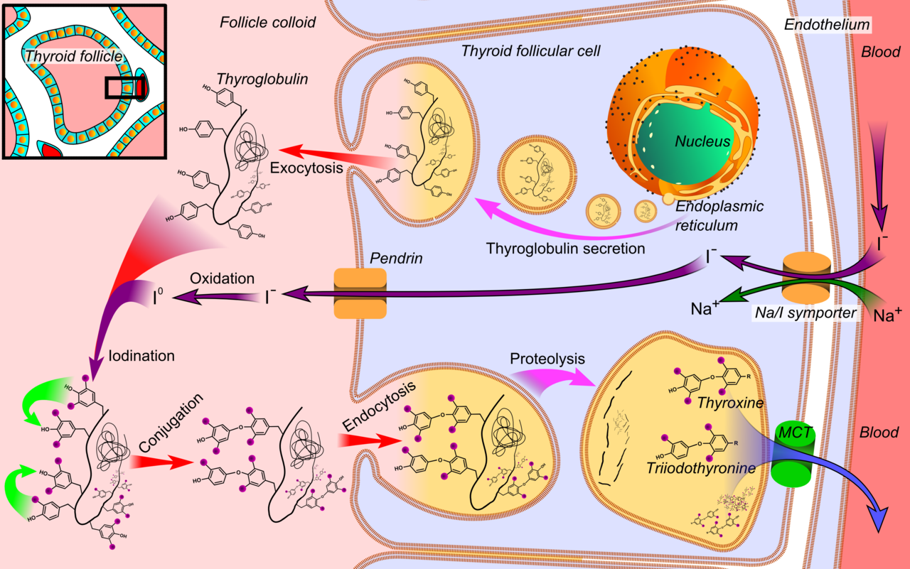Differences Between Glycolysis and Gluconeogenesis