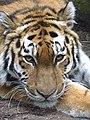 Tiger At The Zoo (43661830).jpeg
