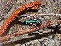 Tiger Beetle (Heptodonta analis) (15765247951).jpg